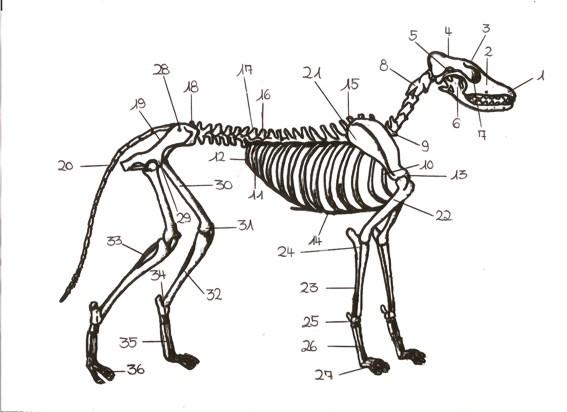 golden retriever kennel tweedverness fci vdh grc anatomie. Black Bedroom Furniture Sets. Home Design Ideas